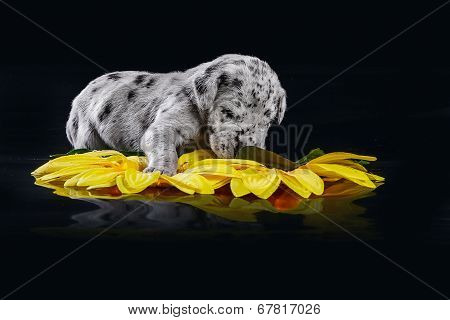 Merlequin great dane puppy with flowers on the black background poster