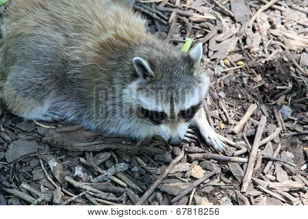 Raccoon scouring for food