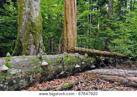 Deadwood in beech-fir forest reserve