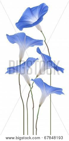 Studio Shot of Blue Colored Morning Glory Flowers Isolated on White Background. Large Depth of Field (DOF). Macro. poster