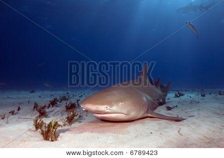 Resting Lemon Shark