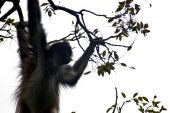 Spider monkey on tree branch in Chiapas Mexico. poster