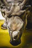 Indian rhino with huge horn and armor skin poster