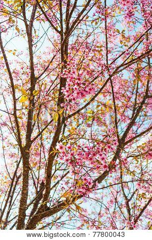 Beautiful Pink Cherry Blossom (sakura) trees, Chiang Mai, Thailand