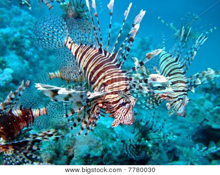 Common Lionfish.