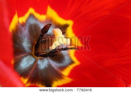 Macro Of Beautiful And Fresh Red Tulip