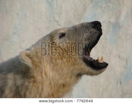 Roar of polar bear