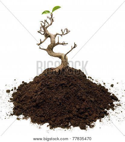 Bonsai Tree survivor