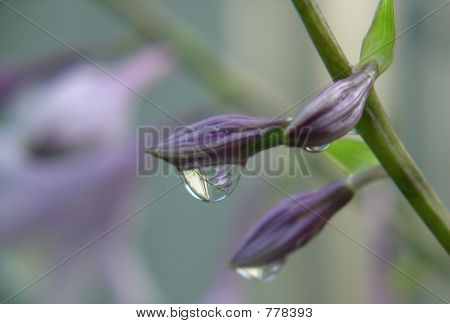 Flower buds with water drops