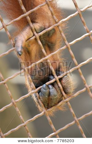 Orangutan's Paw