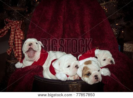Bulldog puppies at Christmas