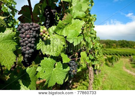 Black grapes vineyard  grown for wine making in the region of Alsace, France.