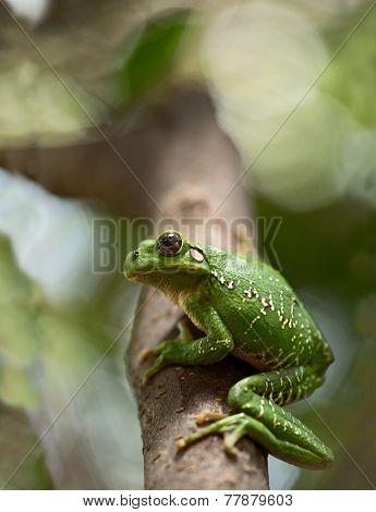 tropical green tree frog Hypsiboas riojanus.
