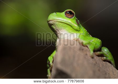 frog portrait Hypsiboas riojanus a Bolivian tree frog living in the high valleys of the Andes amphibian ready to jump.