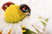 The image of the two ladybirds, sitting in daisies. Macro poster