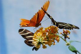 Butterflies Sharing A Flower