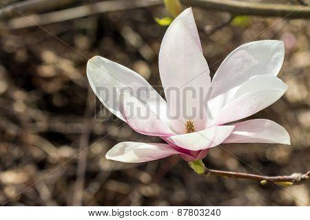 Opened Magnolia Flower
