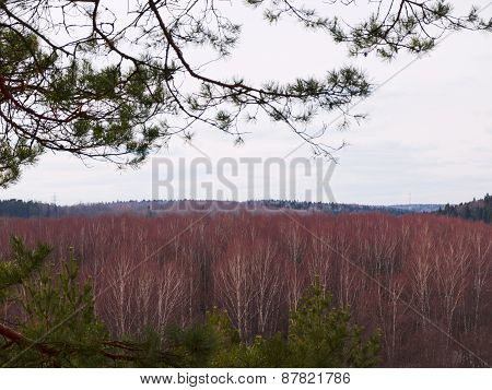 Beautiful birch forest in the early spring