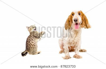 Frisky kitten Scottish Straight and funny dog breed Russian Spaniel