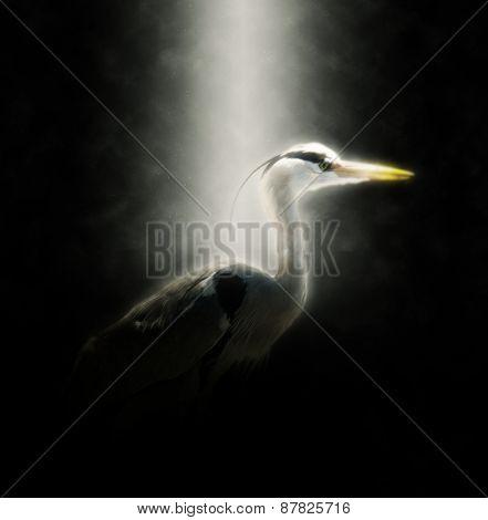 Side Profile of Heron Dramatically Illuminated in Spotlight with Dark Black Background
