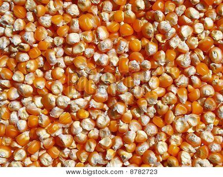 Grain corn maize food corn seed background