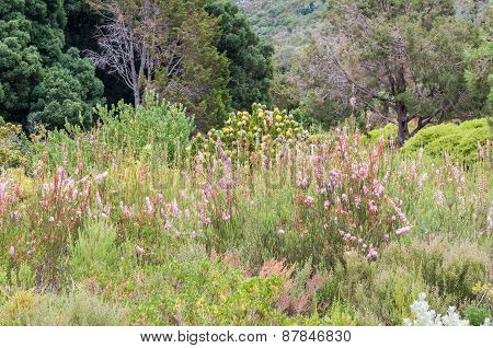 Fynbos And Protea Plants In The Kirstenbosch Botanical Gardens