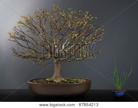 Summer bonsai elm tree