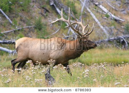 Bull elk walking