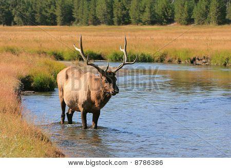 Elk wading