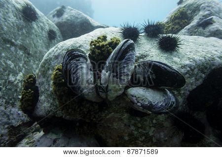 The Sea of Japan, Posyet Bay, Gray's mussel - Crenomytilus grayanus. poster