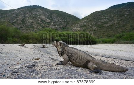 Iguanas At The Entrance To The Parque Nacional Isla Cabritos At The Lago Enriquillo In The Dominican