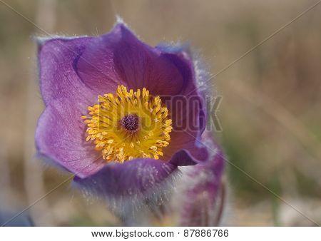 Close-up spring flower Pasqueflower- Pulsatilla grandis detail of flower carpel and stamen with pollen poster