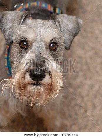 Miniature Schnauzer  Dog Looking Up