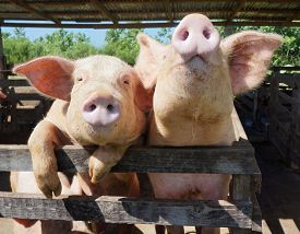 Two Cute, Funny And Curious Pigs On A Farm In The Dominican Republic