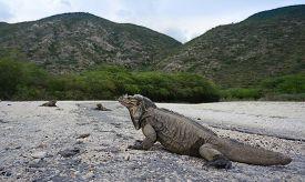 Iguanas At The Entrance To The Parque Nacional Isla Cabritos At The Lago Enriquillo In The Dominican