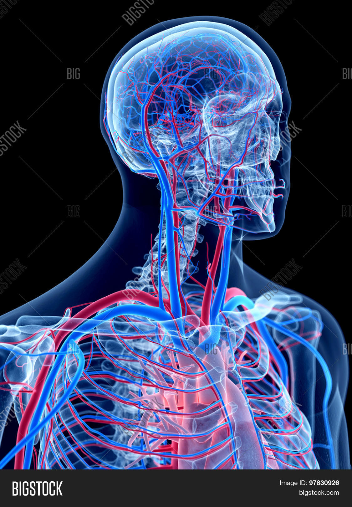 Human Vascular System Image Photo Free Trial Bigstock