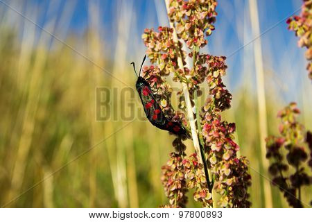 Six-spot Burnet Zygaena Filipendulae Mating