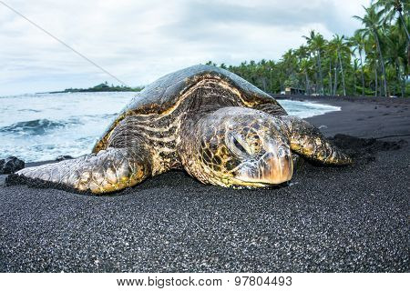 A giant green turtle on a Hawaiian black sand tropical beach crawling out of the water for a rest.