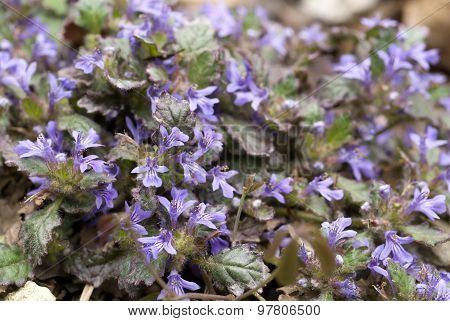 Ajuga decumbens flowers