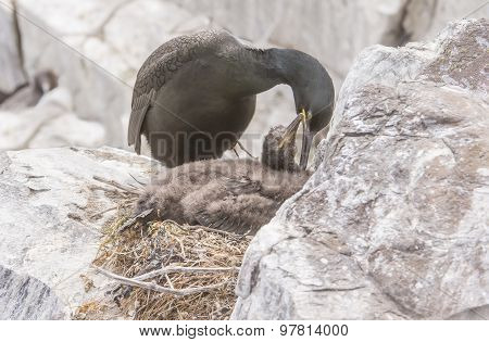 European Shag Phalacrocorax aristotelis adult and juvenile