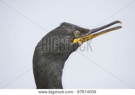 European Shag Phalacrocorax aristotelis portrait close up