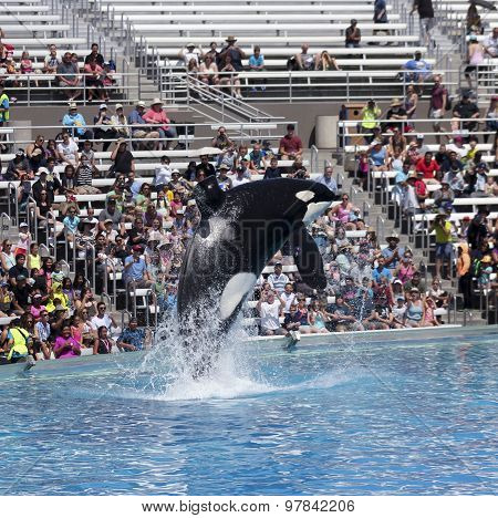 A Killer Whale Breaches In An Oceanarium Show