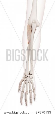 medically accurate muscle illustration of the supinator