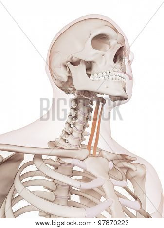 medically accurate muscle illustration of the sternohyoid