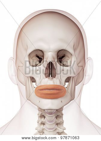 medically accurate muscle illustration of the orbicularis oris