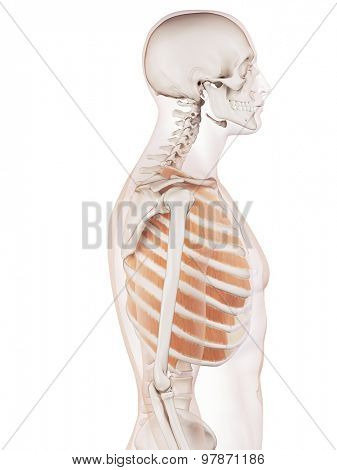 medically accurate muscle illustration of the outer intercostals
