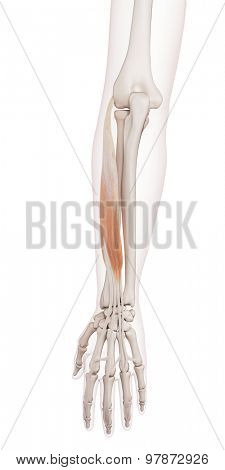 medically accurate muscle illustration of the extensor digitorum