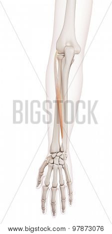 medically accurate muscle illustration of the extensor digiti minimi
