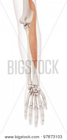 medically accurate muscle illustration of the brachioradialis