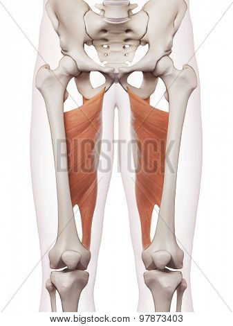 medically accurate muscle illustration of the adductor magnus
